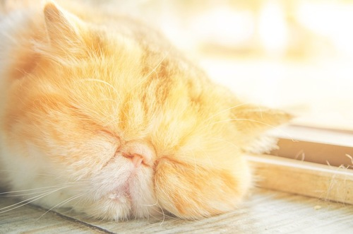 日差しを浴びながら眠るエキゾチックショートヘアの顔アップ