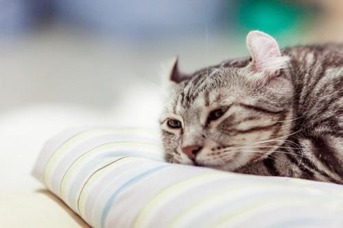 クッションの上で寝そべっているアメリカンカール