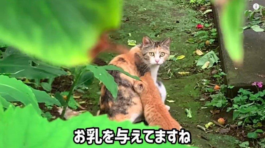 こちらを窺う母猫