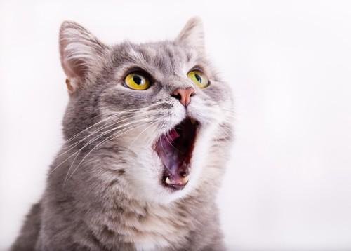 口を大きく開くグレーの猫