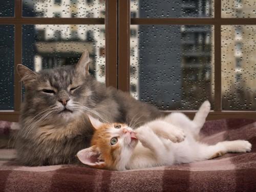 雨の降る窓の前の二匹の猫