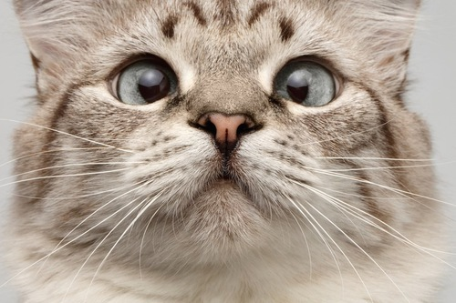 身体能力の高い寄り目の猫の顔アップ