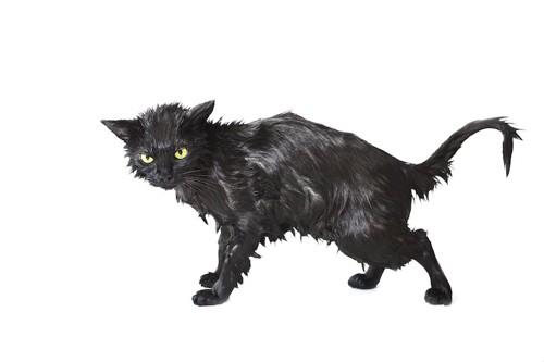 悪魔のようにミステリアスな雰囲気が漂う濡れた黒猫
