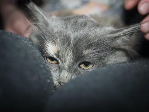 飼い主の膝の上で呆れた顔をする猫
