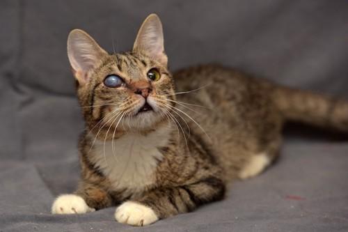 目が白く濁っている猫