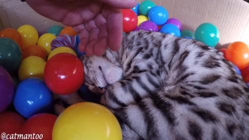 ボールプールで寝る猫