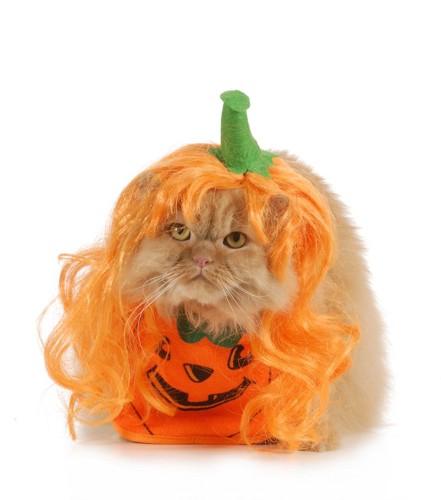 ハロウィンっぽいかつらを被っている猫