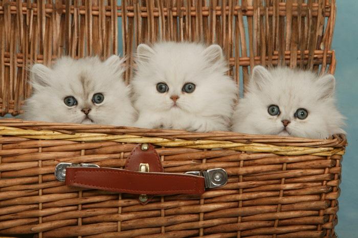 チンチラの子猫たち
