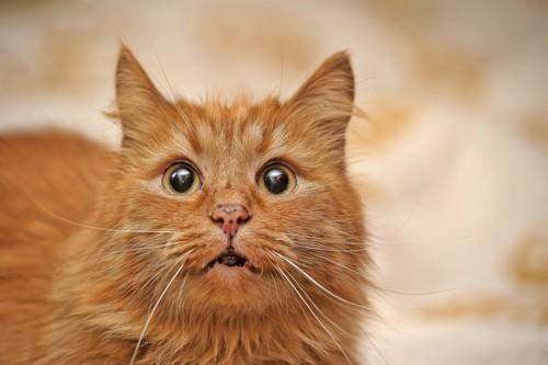 半開きの口の猫