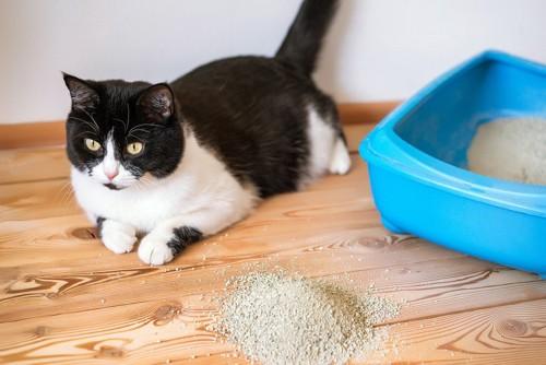 ハチワレ猫と猫トイレ