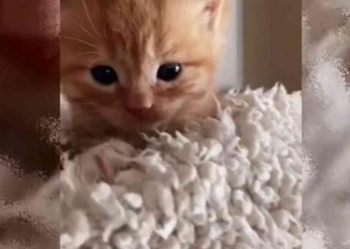 チャトラの子猫