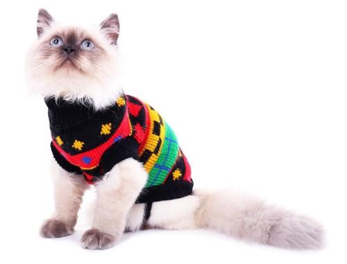ニットの服を着る猫