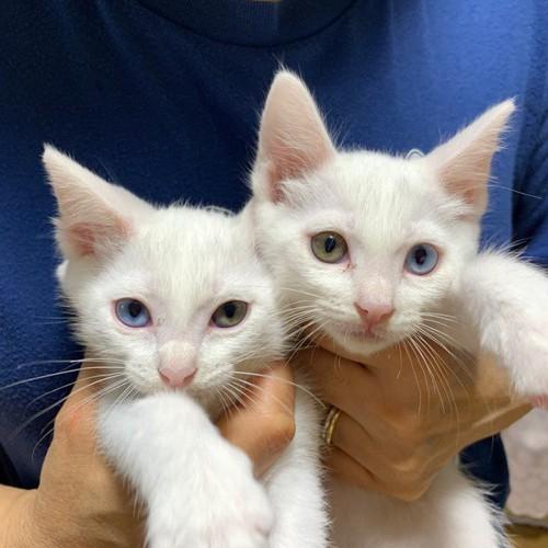 オッドアイの双子猫