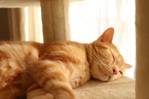キャットタワーで眠る茶トラ