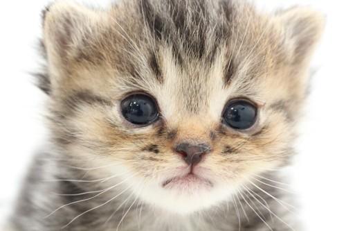 つぶらな瞳の体重が増えない子猫