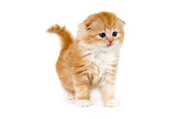 白色と茶色の毛のスコティッシュフォールドの子猫