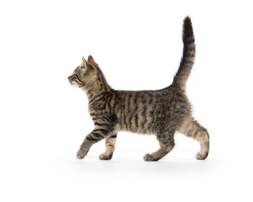 尻尾を立ててうれしそうに歩く子猫