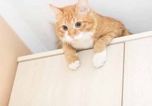 棚の上から覗く猫