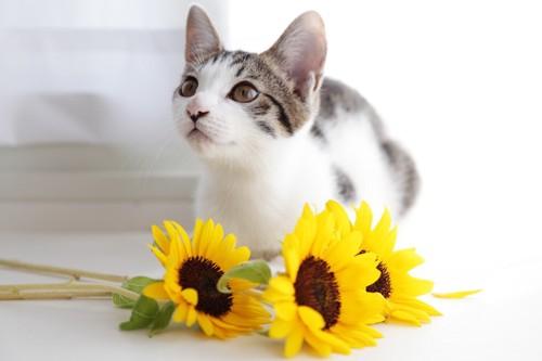 猫と向日葵