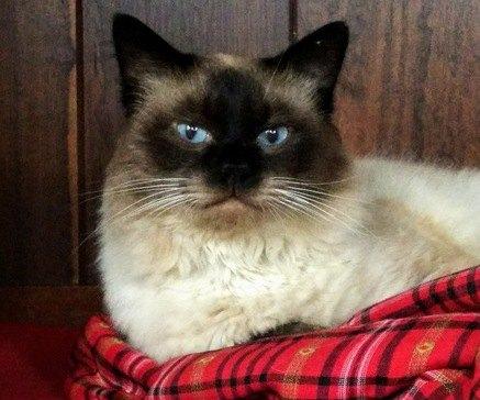 毛並みが良くて目がブルーのシャム猫