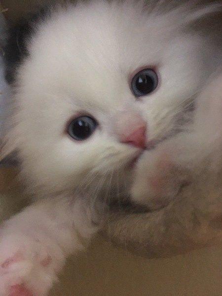 かみかみする白猫の子猫