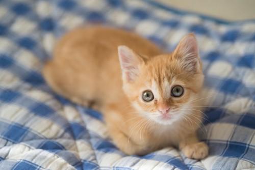 ベッドの上で見つめる子猫