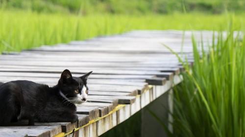 猫と田んぼ