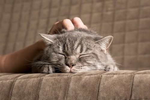 なでられる灰色の猫