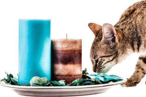 アロマキャンドルの匂いを嗅ぐ猫