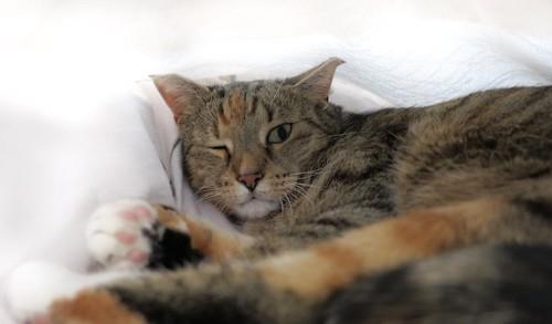 片目を閉じて布団に寝転がる猫