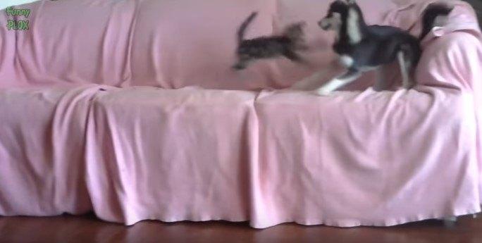 ハスキーと子猫2