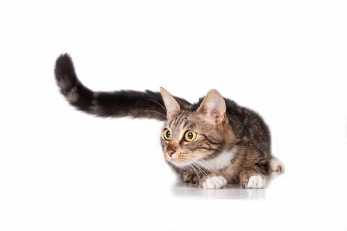 尻尾を大きく振って何かを見つめる猫