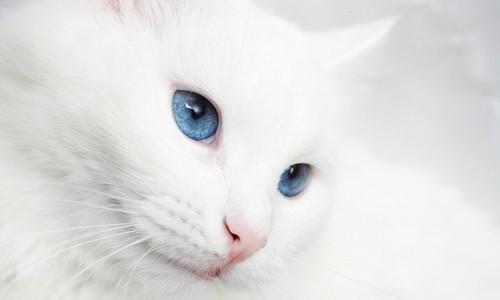 青い瞳の白猫の顔アップ