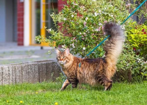 庭を散歩する長毛猫