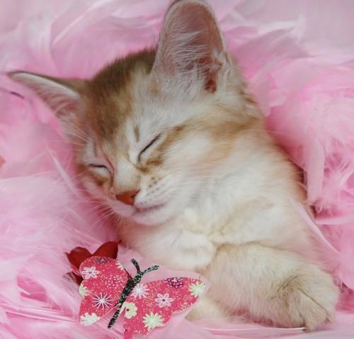 ピンクの羽毛にくるまれて眠っているソマリの子猫