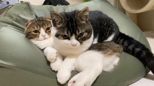 寝ている猫のお腹に座る猫
