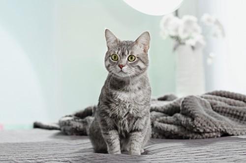 丸顔の美人な猫