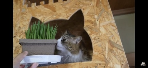 猫草をみせる