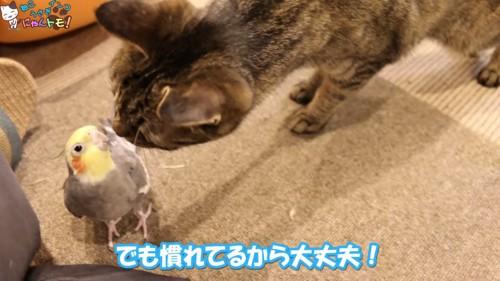 インコと挨拶をする猫