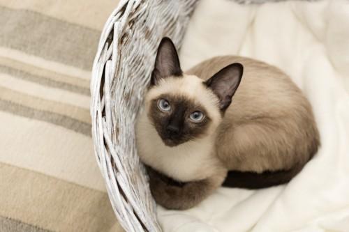 カゴの中から見つめるシャム猫