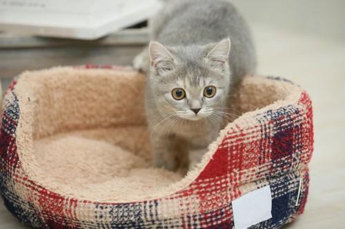 寝具に興味を持つ猫