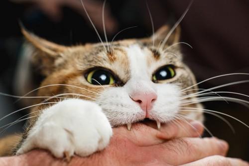 手を噛む猫のアップ