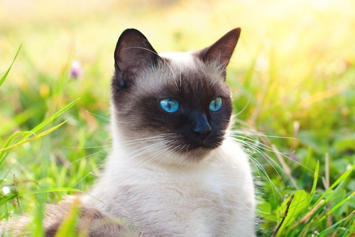 草むらにいる青い瞳のシャム猫