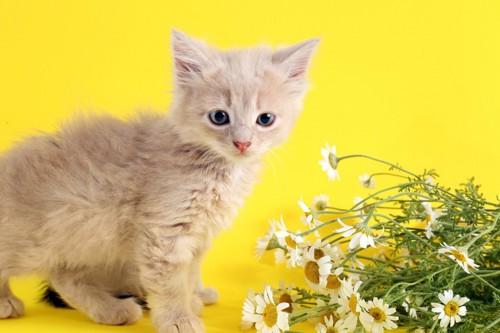 カモミールと子猫