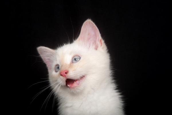 背景が黒く鳴く白い子猫