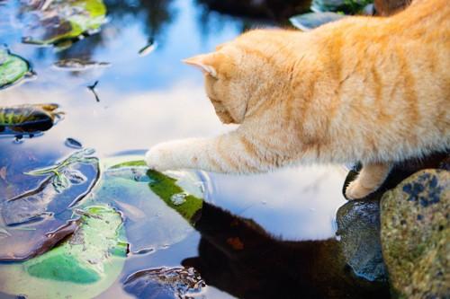 水を触る猫