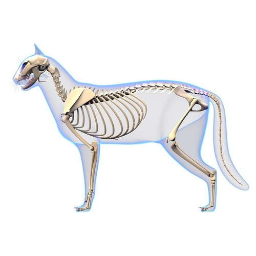 猫の骨格写真