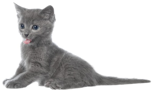 舌を出す子猫