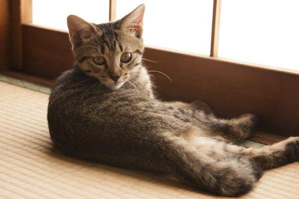 畳の上でこちらを見る猫
