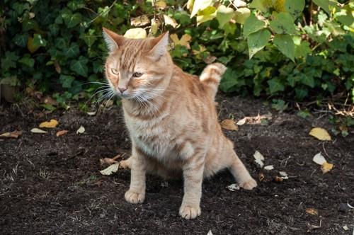 庭でおしっこする猫